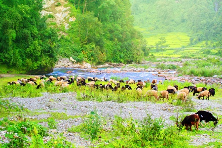 Beautiful  Himalaya landscape with  sheep, goats and  mountain s  river