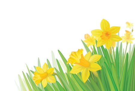 springtime flowers: daffodil flowers isolated