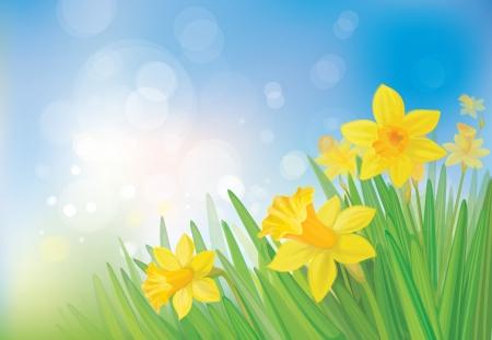 daffodil: daffodil flowers on spring  background