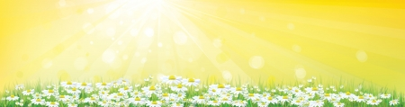 golden daisy: Sunny sky background with chamomiles field
