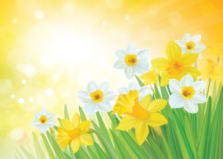 Vector of daffodil flowers on spring background  Vector