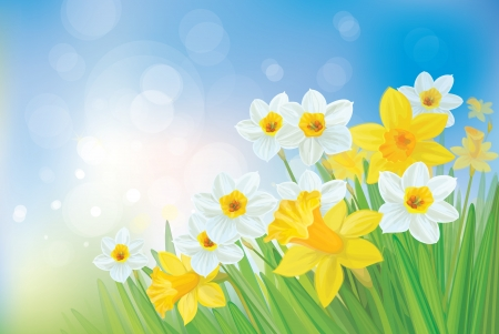 field of flowers: Daffodil flowers on spring background. Illustration