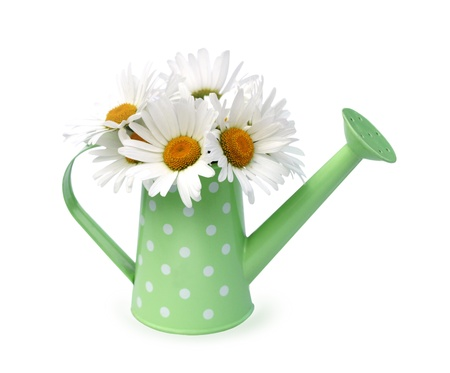 watering pot: Chamomile flowers in watering pot isolated  Stock Photo