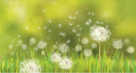 dandelion field: Vector of spring background with white dandelions.
