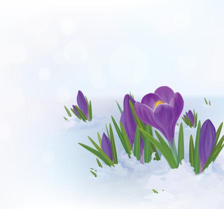 Vector  crocuses flowers in snow. Vector