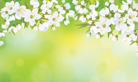 apricot tree: blossoming  tree on  spring  Illustration