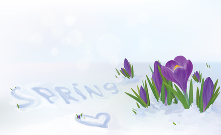 crocuses flowers in snow  Illustration