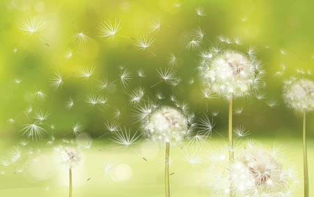 taraxacum: Vector spring background with white dandelions