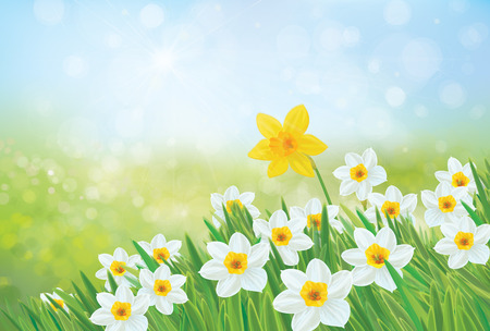 daffodils: Vector spring nature background, daffodil flowers.