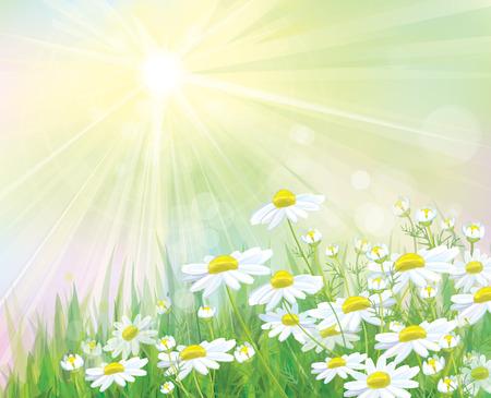 campo de flores: Vector manzanillas blancas flores sobre fondo soleado. Vectores