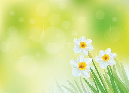 daffodils: white daffodil flowers on green, bokeh background. Illustration