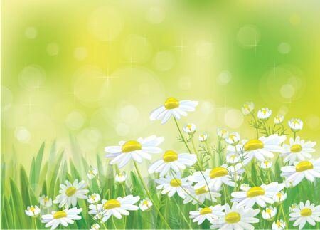 landscape flowers: spring landscape, beautiful chamomiles flowers.
