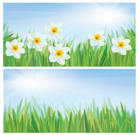 daffodil: daffodil flowers, spring, sunny background.