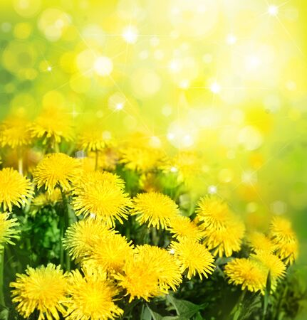 sunshine background: Yellow dandelions on sunshine background.
