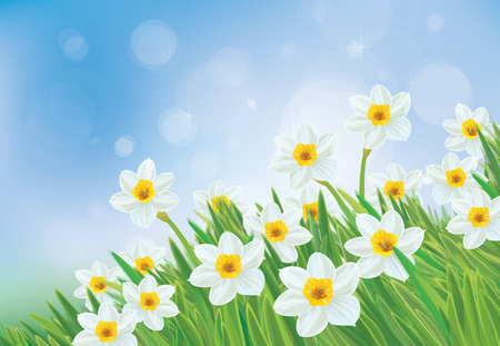daffodil: Vector daffodil flowers on blue sky background.