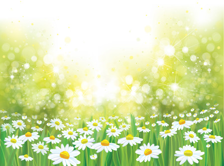 summer nature: Vector summer nature  background, chamomiles field.