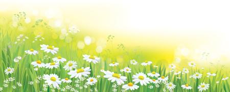 Fondo de naturaleza vectorial, campo de flores de Margarita.