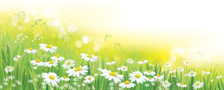 Vector nature  background, daisy  flowers field. Çizim
