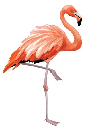 Vector  flamingo bird,  isolated on white.