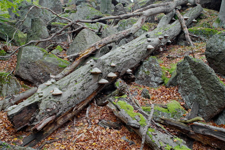 Old beech stem with granite blocks