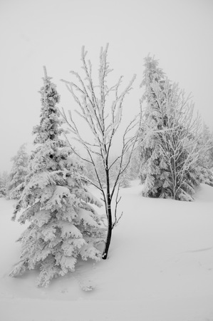 Young trees covered with snow in winter