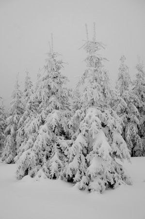 Spruce young growth under snow. Winter in Jizerske hory Mts, Czech Republic 免版税图像