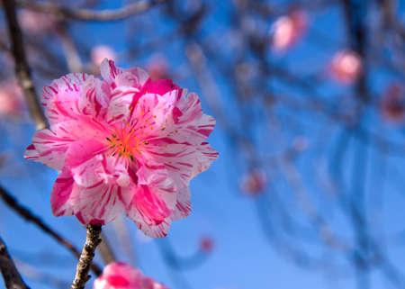 Purple tree blossom blooming  Stock Photo