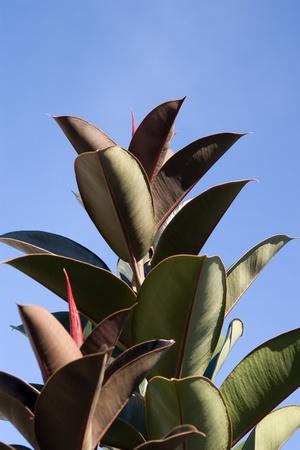 Large leaf plant  Large varicolored leaves