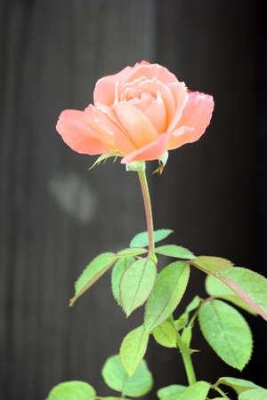 Blooming rose  Black background