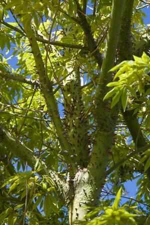 Spiky silk floss tree