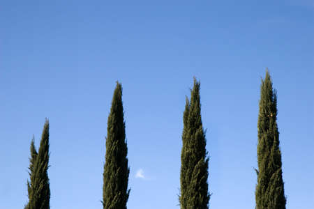 Line of cypress trees  Trees aligned perpendicularly with blue sky in the background  Stock Photo