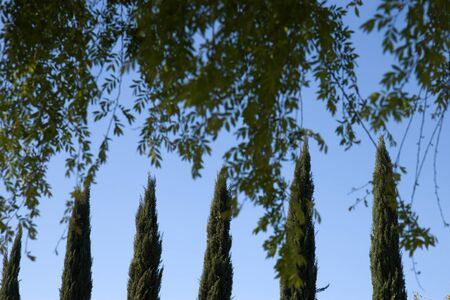 Aligned tree tops  Line of cypress trees Stock Photo