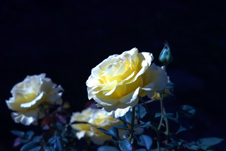 Blooming white yellow rose at night  Stock Photo