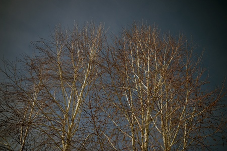Trees with shedded leaves and a dark sky in the background  写真素材