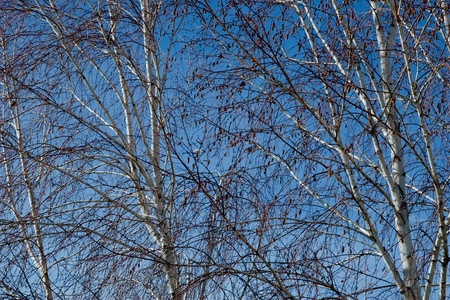 Leafless trees in late winter resembling a spider web  Stock Photo