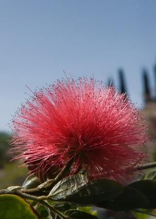 Bottlebrushes are Garden Plants Stock Photo