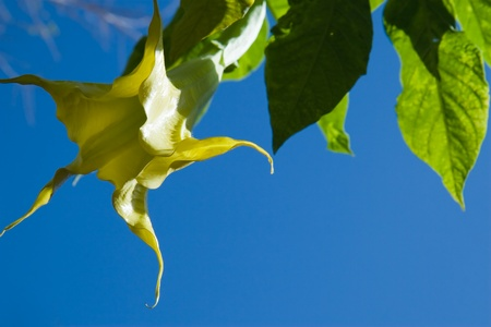 belong to the genus Brugmansia and Datura