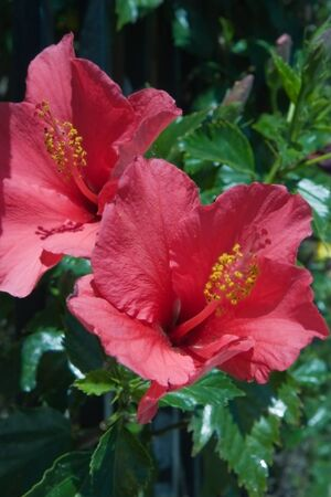 Red hibiscus flower, close-up