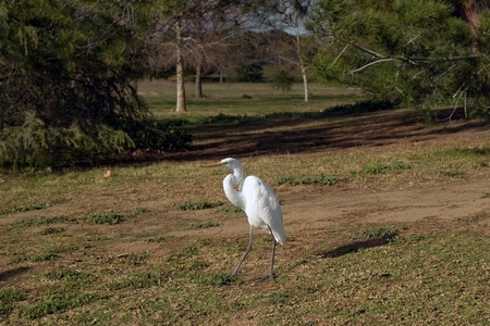 Walking white egret