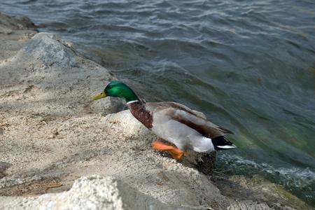 running duck from water 写真素材