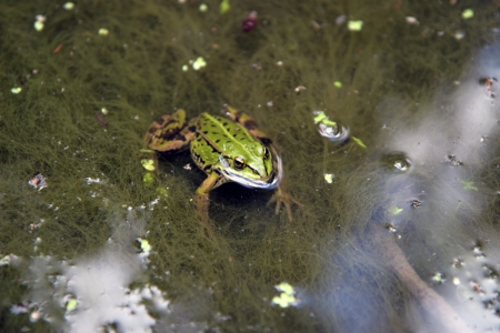 Lithuanian green frog in pond Stock Photo