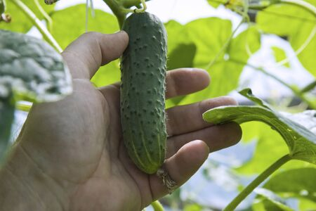 Man hand is picking cucumber