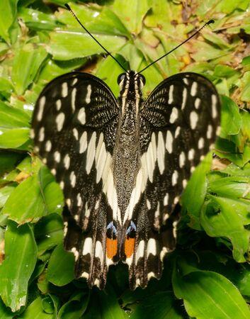 Lime butterfly Scientific name Papilio demoleus black in color