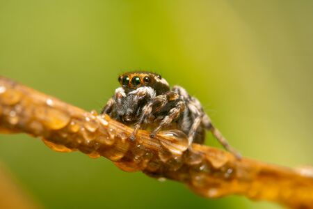 Orange and black jumping spider on a bridge of a dry plant with water droplets on it and a beautiful green and yellow background