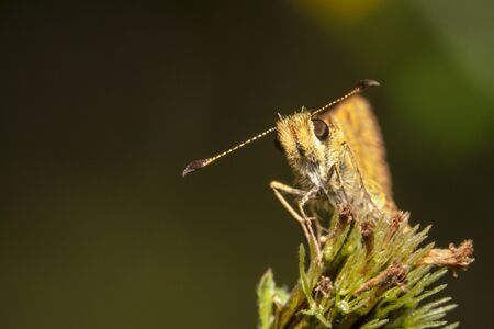 a Yellow looking small skipper butterfly on a green plant, front view with antenna pointing sideways
