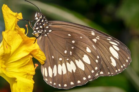 Full view shot of a common crow butterfly with white spots sitting on a yellow flower