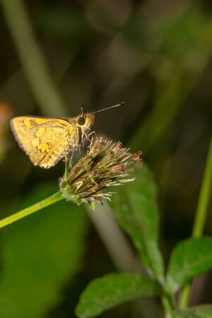 Far away portrait shot of a Yellow looking small skipper butterfly on a green plant, side view
