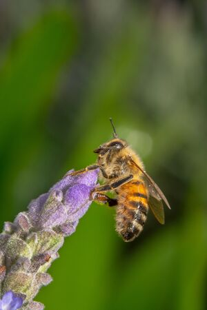 Side view shot of a Honey bee sitting on the tip of a tilted purple and pink flower with antennas up with a beautiful green background Stok Fotoğraf