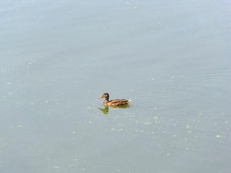 Wild duck Фото со стока