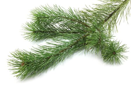 Fir tree branches on white background photo